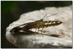 :-)) (Carlo Pisani) Tags: macro closeup butterfly carlo farfalla pisani carlopisani cpmac wwwcarlopisanieu wwwcarlopisaniit