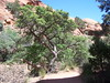 Sonoran Scrub Oak (Aquila-chrysaetos) Tags: red plants rock utah spring oak flora colorado desert northamerica southernutah redrock coloradoplateau canyoncountry fagaceae