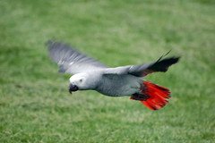 Cressi in flight (Dave Womach) Tags: seattle outside flying washington freestyle flight africangrey freeflight