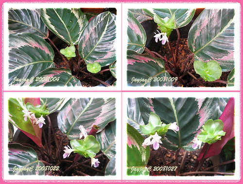 Photo collage on flowering Calathea roseo picta cv. 'Eclipse'