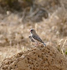 ubejaneloop mountainzebranp scalyfeatheredweaver sporopipessquamifrons taxonomy:binomial=sporopipessquamifrons bird