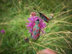 Acélszínű csüngőlepkék (Zygaena filipendulae) (jetiahegyen) Tags: rovar virág túra túrázás kirándulás tour outdoor hiking visegrádihegység insect butterfly lepke flower