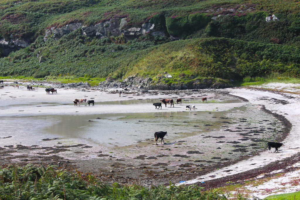 Cows on beach
