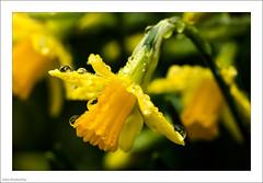 After The Rain 52/365 (John Penberthy LRPS) Tags: 21feb17 365the2017edition 3652017 d750 day52365 flowersandplants johnpenberthy nikon garden rain waterdrops yellow