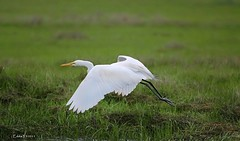 Taking Off in Early Morning (Eddie_NewYorkNature) Tags: bird heron animal wings wildlife egret greategret birdinflight egretheron flyingbird longwings newyorknature flyingegret greategretinflight flyinggreategret beautifulinflight birdofnewyork eleganceinflight