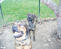 Mastweilers: Ivy & Napoleon (muslovedogs) Tags: ivy napoleon mastweiler zeusoffspring myladyoffspring daisyoffspring lilboyoffspring