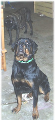 Serious Zeus with Daisy hovering behind (muslovedogs) Tags: dogs mastiff rottweiler zeus daisy mastweiler