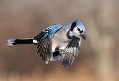 Blue Jay (naturelover2007) Tags: blue ontario bird jay flight bluejay pictureperfect cya