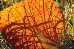 ray lamontagne:you can bring me flowers (visualpanic) Tags: winter orange france hoja backlight garden leaf invierno 2007 jardn lacerdanya fulla taronja contrallum hivern cerdagne jard desembre osseja
