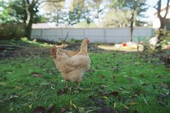 goldberry, our adopted chicken, with gilda, ba...
