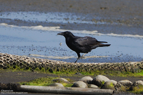 32447 小嘴烏鴉 (Carrion Crow) Corvus corone