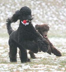 poodle run (darleen2902) Tags: winter red dog black dogs ball action running run misura darleen brwn