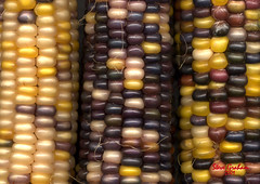 corn (artfilmusic) Tags: cornonthecob