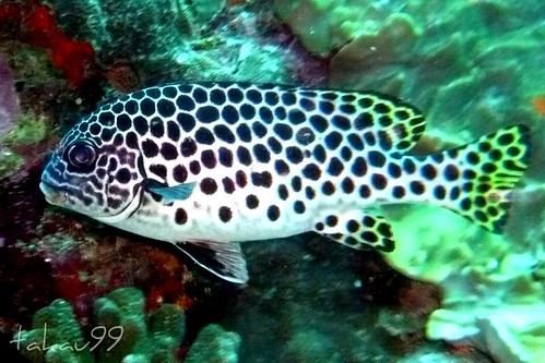 Andaman Sweetlips, Similan Islands Thailand