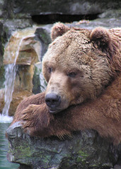 """Brown Bear --- Judge's Choice, """"Student"""" Category - 2007 Buffalo Zoo Photo Contest by CharlesSF"""
