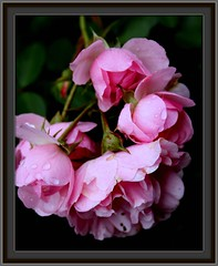 g02: wet little roses     72028 (Juergen Kurlvink) Tags: travel pink camping camp vacation flower water rain rose germany geotagged deutschland photography eau wasser europa europe bonn tour place purple urlaub natur bad rosa blumen pearls lila lilac rainy journey bloom nrw ausflug waterdrops blume blte allemagne ferien soe nordrheinwestfalen regen excursion 2007 reise wassertropfen diamant brd smrgsbord juergen mehlem purpur naturesfinest godesberg rosenbusch avision diamondclassphotographer flickrdiamond empyrianflowers 0fav exploreunexplored betterthangood kurlvink genienau kurli1 llovepic beautifulmothernatur gotasdropspassion 0allok 0nah 0win