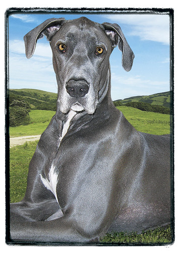 "Great Dane  ""Alobar"""