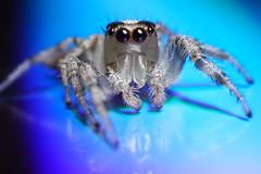 feeling blue (Mundo Poco) Tags: macro canon spider arachnid rebelxt eos350d soe jumpingspider mpe 65mm naturesfinest supershot megashot showmeyourqualitypixels