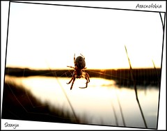 Aracnofobia (Stranju) Tags: sardegna macro spider tramonto sardinia giallo palude ragno oristano stagno santagiusta senaarrubia diamondclassphotographer aracnos
