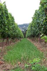 Vineyard BK (UMCHI) Tags: green germany wine bad grapes gruen bk trauben kreuznach