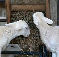 Lambs eating hay