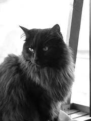 Motion (Maine Coons) Tags: cats cat kitty katze katzen norweger
