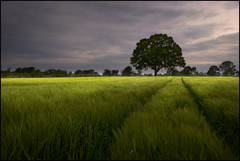 Field of Barley (Tony Murphy) Tags: ireland field barley dawn morninglight farm grain cereal perspective crop brew boyle roscommon westmeath irishcountryside irishlandscape leadinlines tonymurphy