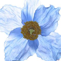Poppy (MR@tter) Tags: flowers blue macro nature garden square natur blumen poppy blau makro onwhite garten meconopsis mohn iloveit lifeasiseeit flowerscolors ultimateshot scheinmohn life~asiseeit multimegashot