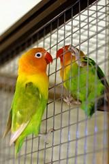 pet green bird parrot cage lovebird agapornis zsuzsi fischers masni fischeri delute