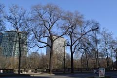 Gladde iepen, Brussel (Erf-goed.be) Tags: gladdeiepen iepen bomen kruidtuinlaan brussel archeonet geotagged geo:lon=43611 geo:lat=508546