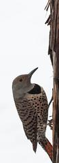 Northern Flicker (phoca2004) Tags: colaptesauratus female klamathbasin northernflicker redshaftednorthernflicker winterwingsfestival klamathfalls oregon unitedstates us bird birds