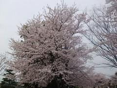 富士フイルム ファインピクセル Z700EXR 桜 レビュー