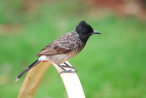 Red Vented Bulbul!!! by joshi1982.