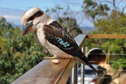 Kookaburra 124