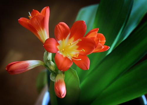 Bush Lily (Clivia)