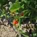 Three Sisters: Scarlet Runner Beans