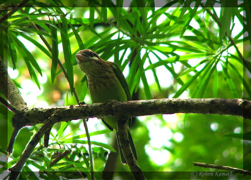 SmallGreenBarbet