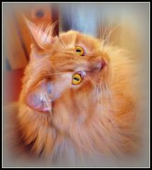 George sideways (fastcat!) Tags: fab orange cats george mainecoon picnik 2007 creamsicles oreengenesses bestofcats searxhthebest