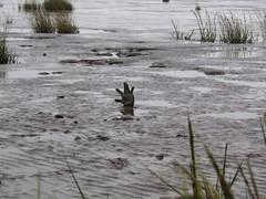 .. (Kate Kirkwood) Tags: mud estuary glove lowtide quicksand