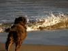 Action Dog (Annie in Beziers) Tags: sea chien france beach water alicia action wave running browndog splash aude plage pero chocolatedog stpierrelamer annieinbéziers aforalicia