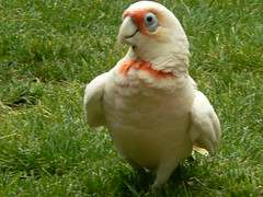 Long-Billed Corella (ianmichaelthomas) Tags: friends birds healesvillesanctuary parrots corella longbilledcorella animaladdiction australiannativebirds wildlifeofaustralia animalcraze worldofanimals healesvillevictoriaaustralia flickrlovers vosplusbellesphotos