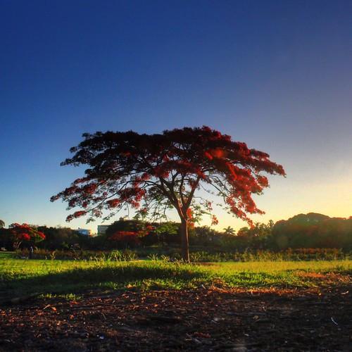 Poinsiana Tree in New Farm Park