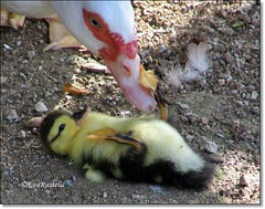 Play with me ma!!! (forestsoul) Tags: pets bird animals duck farm slovenia ashotadayorso llovemypic alittlebeauty forestsoul