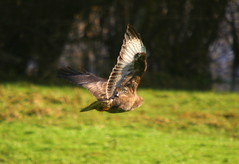 Buzzard in flight (tijmenkroes) Tags: ilovenature buzzard buizerd naturesfinest impressedbeauty diamondclassphotographer flickrdiamond veessen searchandreward natureselegantshots