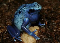 Dendrobates azureus (Cat Smith) Tags: blue gardens canon eos zoo florida frog jacksonville azureus fl poison dart duval herp dendrobates herps zoological