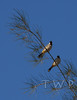 Me and My Shadow (WanderWorks) Tags: blue sky white tree bird nature birds branch cheek wildlife pair ear perch qatar eared bulbul whiteeared cheeked whitecheeked pycnonotus leucogenys leucotis olddsc1359c2mg dsc1359bc3g2
