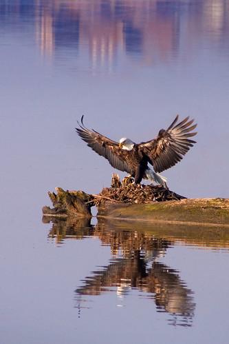 eagle46