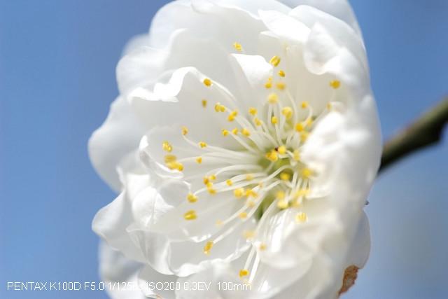 [台北市文山區]杏花林的花季即將展開