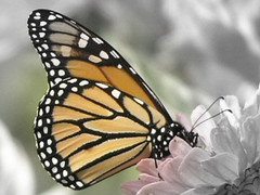 Monarch Butterfly Colour Over B&W 008 (Chrisser) Tags: ontario canada nature butterfly insect butterflies picasa insects monarch mostfavorited naturesfinest supershot imagepoetry olympuscamediac765 anawesomeshot