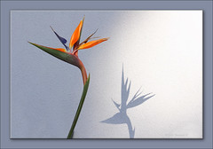 Bird of Paradise Flower-0005 (Barbara J H) Tags: shadow wall australia qld stucco strelitzia maroochydore strelitziareginae birdofparadiseflower stuccowall auselite